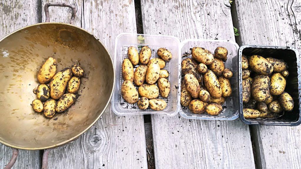 Kartoffelernte aus den Kübeln
