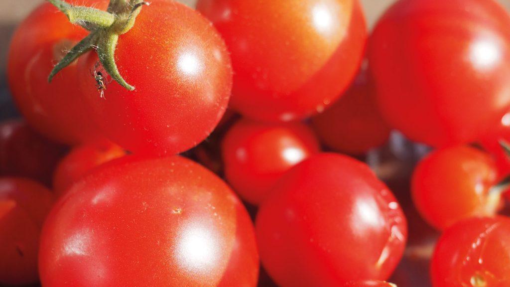 Tomatenzucht