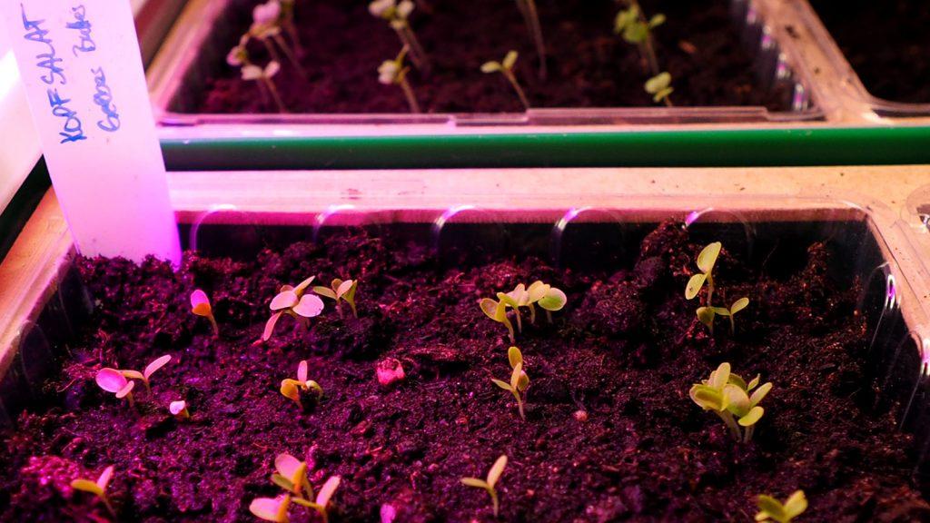 Kopfsalat Jungpflanzen