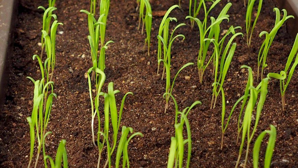 Jungpflanzen Spinat