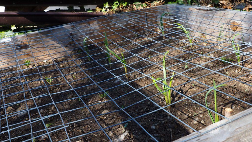 Knoblauchpflanze im Beet
