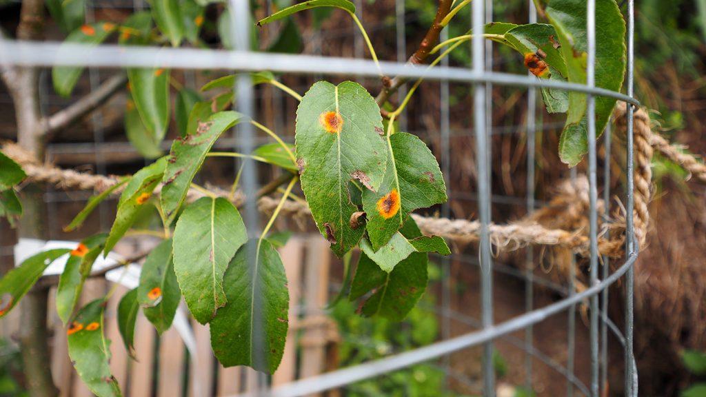 Blätter mit Birnengitterrost