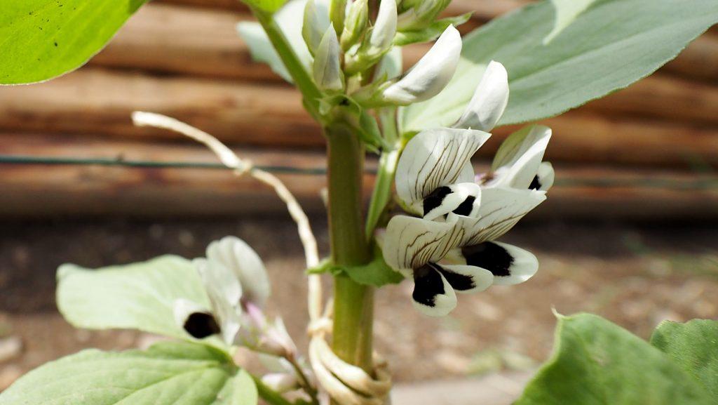 Blüte der Puffbohne