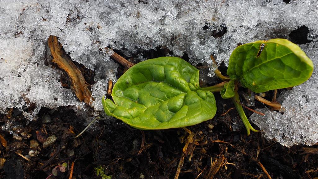 Spinatpflanze
